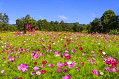Field cosmos flower beautiful with sunshine Royalty Free Stock Photo