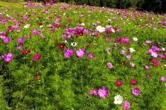 Field cosmos flower idyllic with green Stock Image