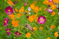 A field of cosmos flowers Royalty Free Stock Photo
