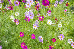 Field of cosmos flowers Royalty Free Stock Photography
