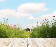 Field of Cosmos Flowers and sky Royalty Free Stock Photos