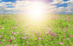 Field of Cosmos Flowers and sky Royalty Free Stock Photo