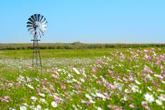 Field of cosmos flowers and a windmill Stock Photo