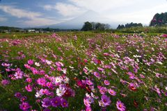 Field of Cosmos IV Royalty Free Stock Image