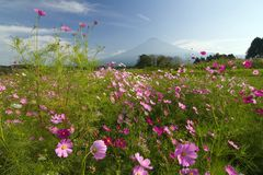 Field of Cosmos V Stock Photo