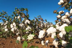 Field of Cotton Royalty Free Stock Photos