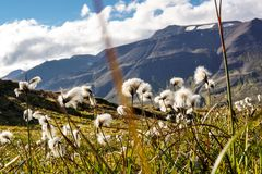 Field of cotton grass in iceland stock image