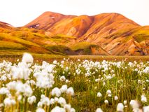 Field of cotton grass in icelandic mountains Royalty Free Stock Images