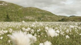 Field of cotton in the mountain. Norway stock footage
