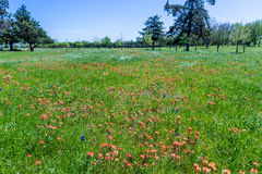 A Field Covered with Orange Indian Paintbrush Wildflowers Stock Images