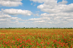 Field covered by red poppies Royalty Free Stock Photo