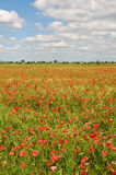 Field covered by red poppies Stock Photo