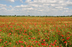 Field covered by red poppies Stock Images