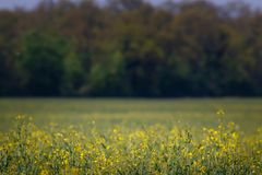 The field covered with yellow flowers and blurred forest royalty free stock photo