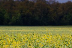 The field covered in yellow flowers stock images
