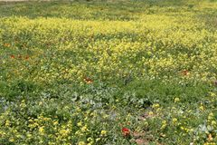 Field of Sinapis Flowers. Field covered yellow Sinapis Mustard flowers royalty free stock image