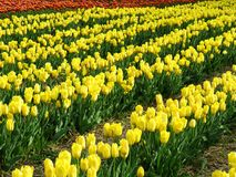 Field covered of yellow tulips. And some orange tulips in the background Royalty Free Stock Photo