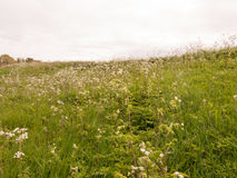 A field of cow parsley white and green with overcast sky in spri Stock Photography