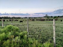 Field with cows royalty free stock images