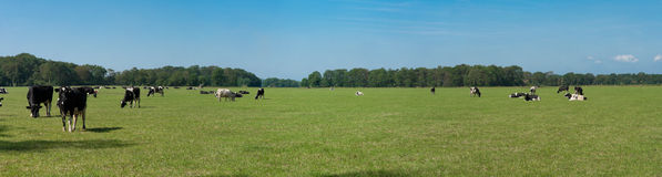 Field with cows Royalty Free Stock Image