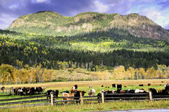 Field of cows in fall Royalty Free Stock Photo
