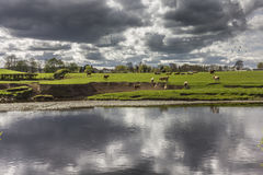 Field of Cows Reflected with Stormy Sky Royalty Free Stock Photos