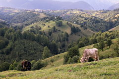 Field with cows on the top of the mountains Stock Photo