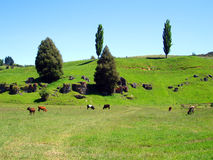 Field of Cows, Waitomo, New Zealand. Field of Cows in a field with a rocky hill in the background, Waitomo, New Zealand Royalty Free Stock Images