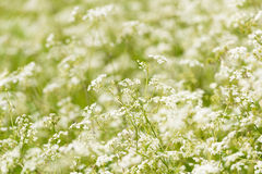 A Field Of Cow Parsley. A mass of cow parsley (also known as wild chervil) with sharp focussed and defocused areas. Shot around the farmland of Norfolk, England royalty free stock photography
