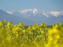 A field of cozla, with mountain in background Royalty Free Stock Photography