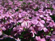 A Field of Creeping Phlox Stock Photography