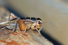 Field cricket. The close-up of field cricket royalty free stock images