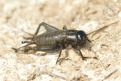 Field Cricket (Gryllus). Close-up Stock Photo