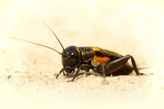 Free Field Cricket - Gryllus Campestri Stock Images - 71849444