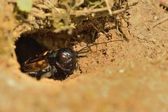 Free Field Cricket - Gryllus Campestris Stock Images - 71847724