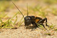 Field cricket - Gryllus campestris stock photography