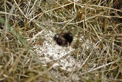 Field cricket Gryllus campestris Royalty Free Stock Image