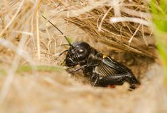 The field cricket Gryllus campestris macro photo royalty free stock images