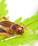 Field Cricket Gryllus isolated on white background Royalty Free Stock Image