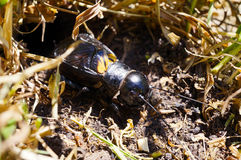 Field cricket Royalty Free Stock Photography
