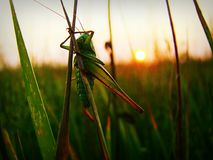 A field cricket Stock Photography