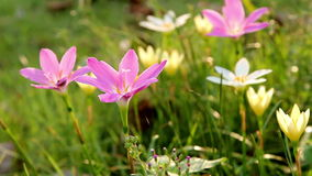 Field of crocus flowers stock footage