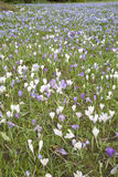 Field of Crocus Flowers, Tewkesbury, England Royalty Free Stock Photos