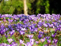 Field of crocus vernus flowers Royalty Free Stock Photo