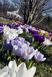 Field of crocuses Royalty Free Stock Images