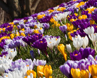 Field of crocuses. Mass of naturalized crocuses in a spring lawn Stock Photo