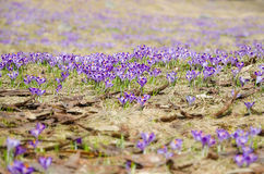 Field of crocuses Royalty Free Stock Photography