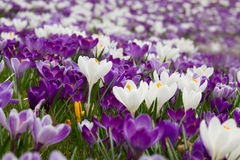 Field with crocuses. Field with purple and white crocuses Stock Photo