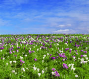 Field with crocuses in spring time Stock Photo