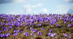 Field of crocuses. Royalty Free Stock Photos